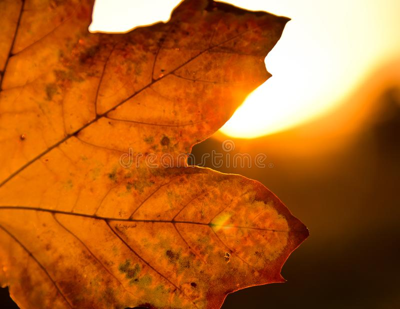 A strong coloured maple leaf in the evening sunset of autumn. Yellow, golden and red coloured royalty free stock photos