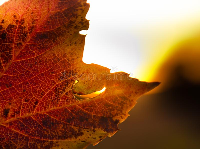 A strong coloured maple leaf in the evening sunset of autumn. Yellow, golden and red coloured royalty free stock photo
