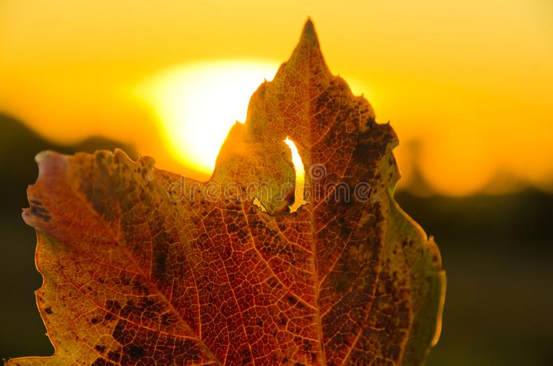A strong coloured maple leaf in the evening sunset of autumn. Yellow, golden and red coloured royalty free stock images