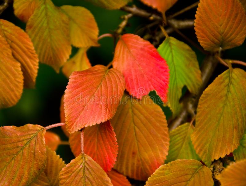 A strong coloured maple leaf in the sun of autumn. Backlight, pattern and veins, beautiful background royalty free stock photo