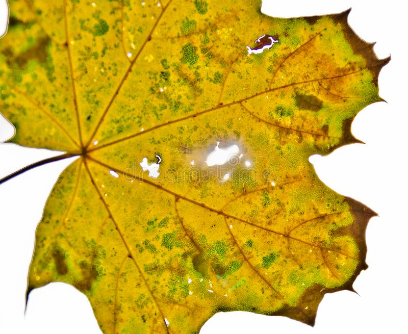 A strong coloured maple leaf in the sun of autumn. Backlight, pattern and veins, beautiful background stock photo