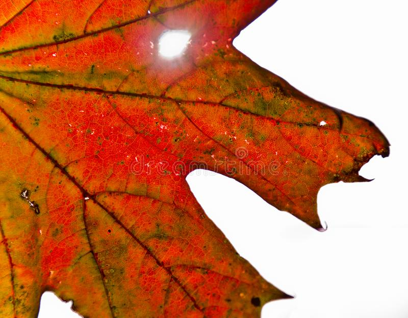 A strong coloured maple leaf in the sun of autumn. Backlight, pattern and veins, beautiful background royalty free stock images