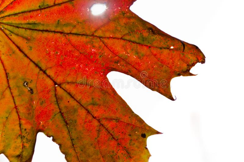 A strong coloured maple leaf in the sun of autumn. Backlight, pattern and veins, beautiful background stock photos