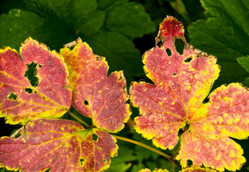 A strong coloured maple leaf in the sun of autumn. Backlight, pattern and veins, beautiful background stock images