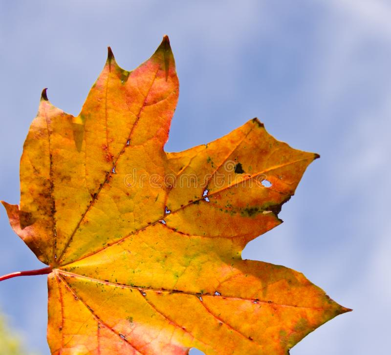 A strong coloured maple leaf in the sun of autumn. Backlight, pattern and veins, beautiful background stock photography