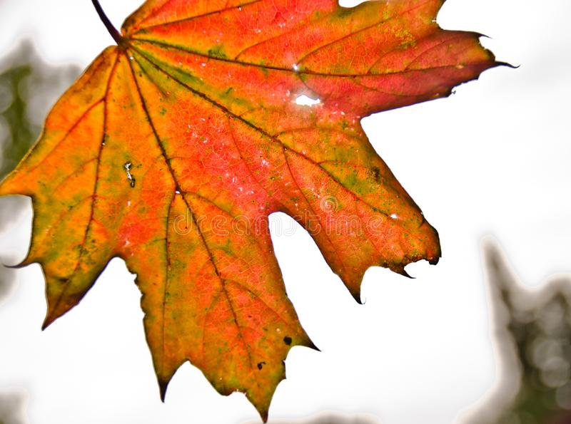 A strong coloured maple leaf in the sun of autumn. Backlight, pattern and veins, beautiful background royalty free stock image