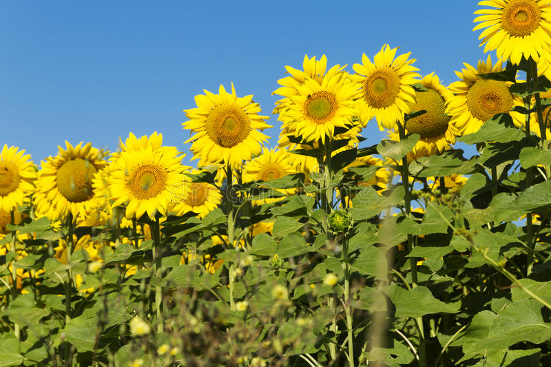 Sunflowers on sunny day