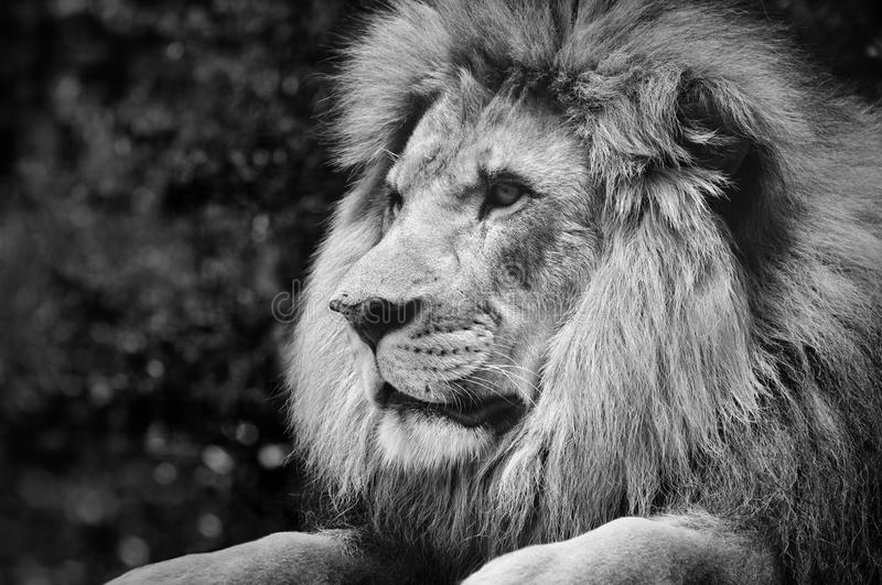 Strong contrast black and white of a male lion in a kingly pose. Bold black and white photo of a powerful male lion stock image