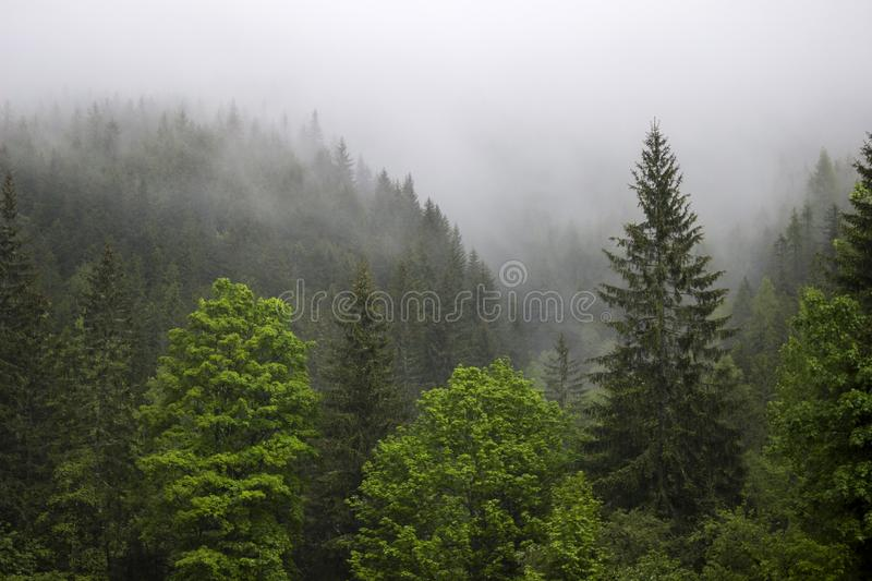 Strong fog in the forest in the mountains, pine trees and old trees royalty free stock photography