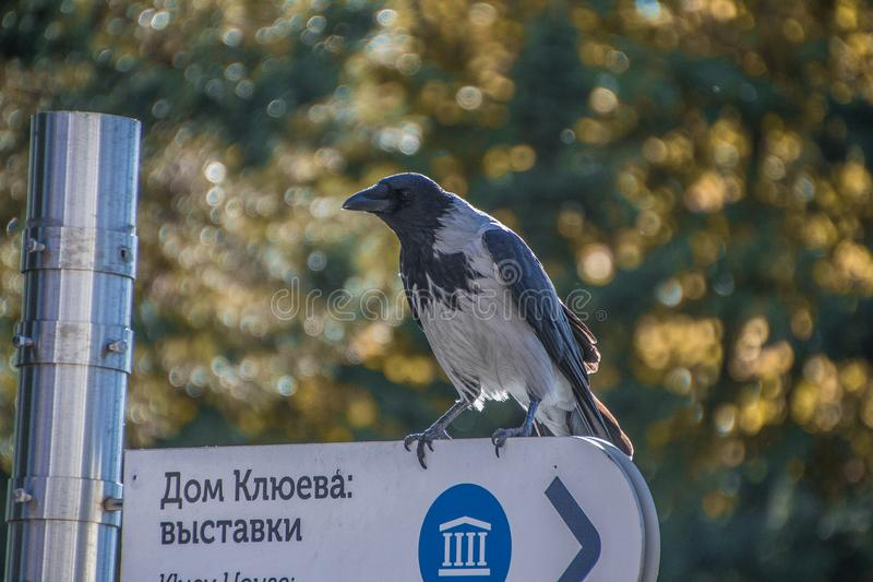 A strong glance wise birds. Crow. Plumage. Black wing. Old crow. Ornithology. Beautiful plumage. Smart look stock photo