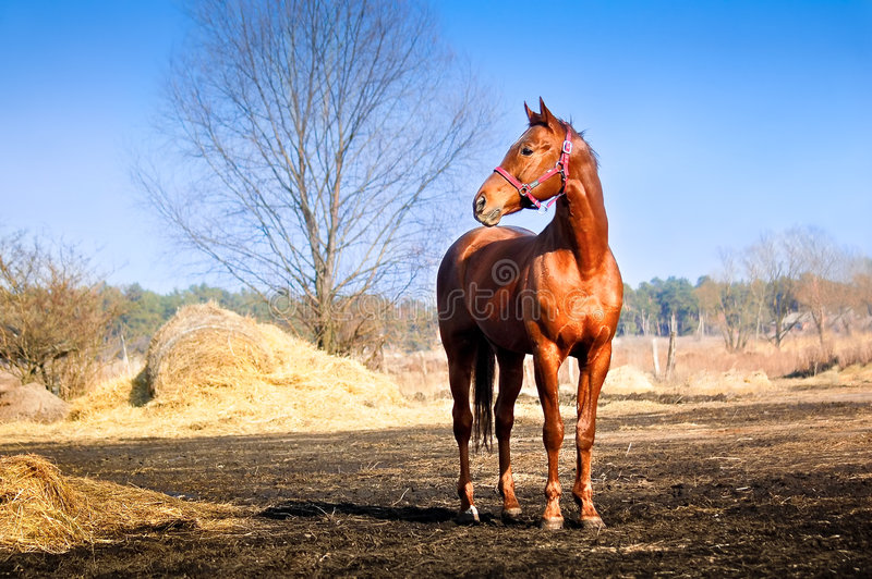 Download Strong and graceful horse stock photo. Image of meadow - 8612760