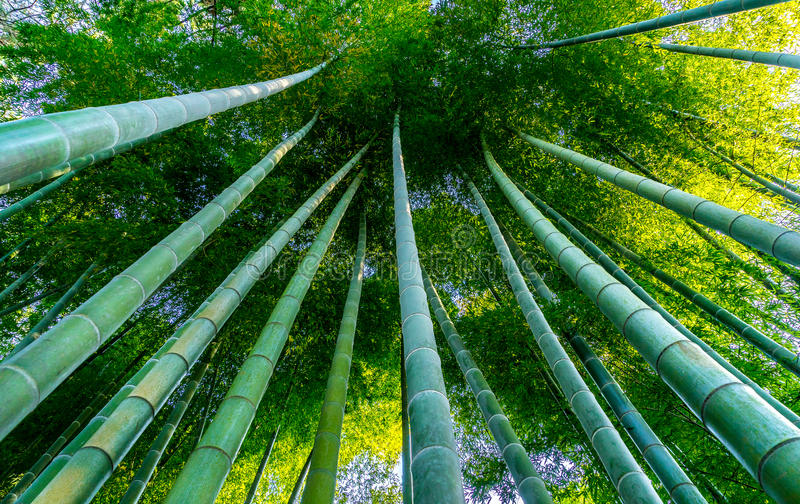 Strong Japanese Bamboo stock images