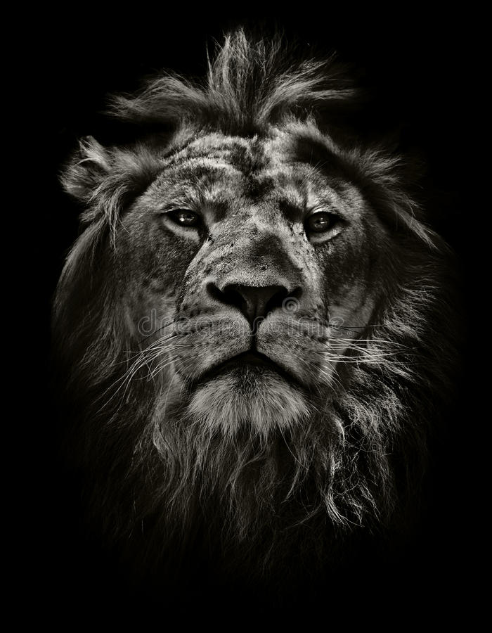 Strong lion. Portrait in black and white of male lion stock images