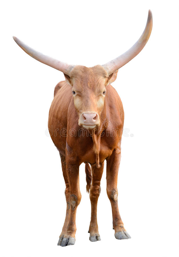 Strong red brown bull ox isolated. On white background royalty free stock images