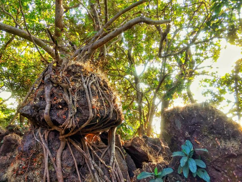 Strong Roots. The Strong Roots of a tree holding onto a very Loose Rock royalty free stock photography