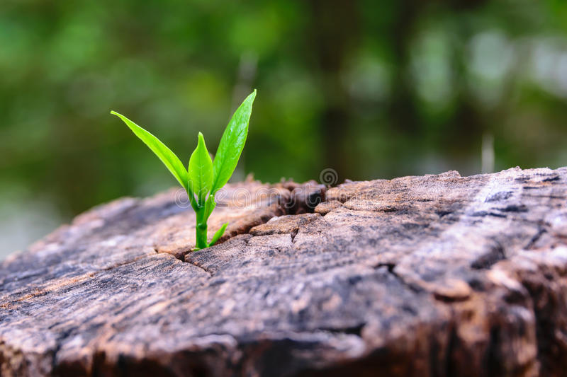 A strong seedling growing in the center trunk tree as a concept of support building a future. (focus on new life). A strong seedling growing in the center trunk royalty free stock photos