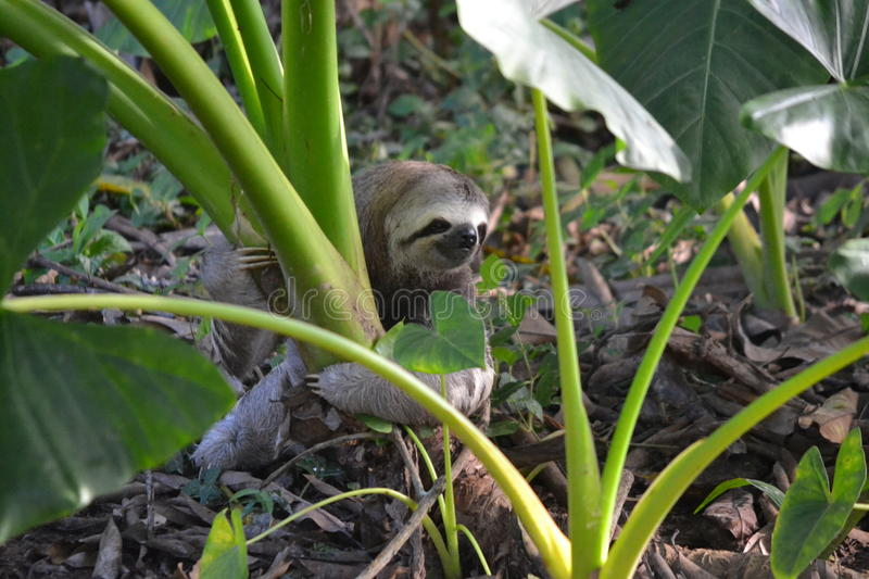 Strong Sloth stock photography