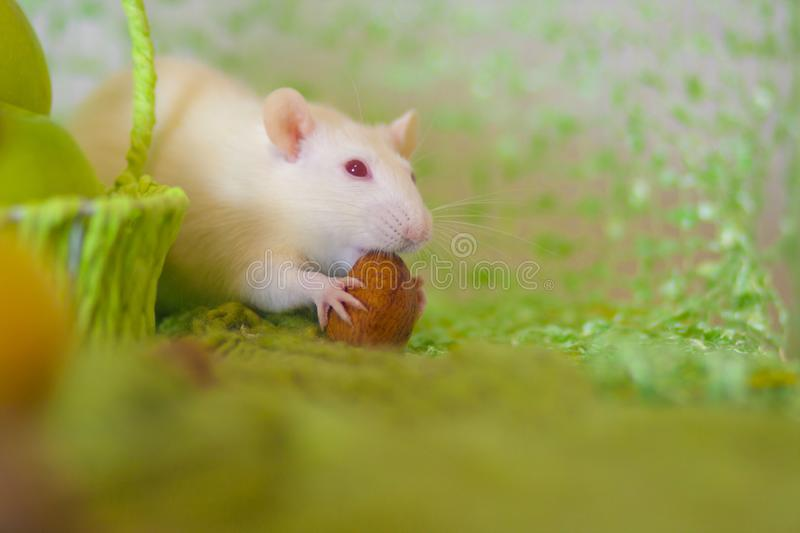 Strong teeth concept. The mouse nibbles the nut. The rat is eating solid food royalty free stock photos