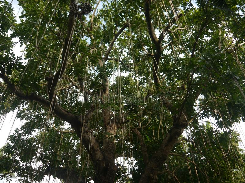 Strong tree branches with lianas waking down, aerial root. Tropic,No people, space for text, copy space, nobody stock photography