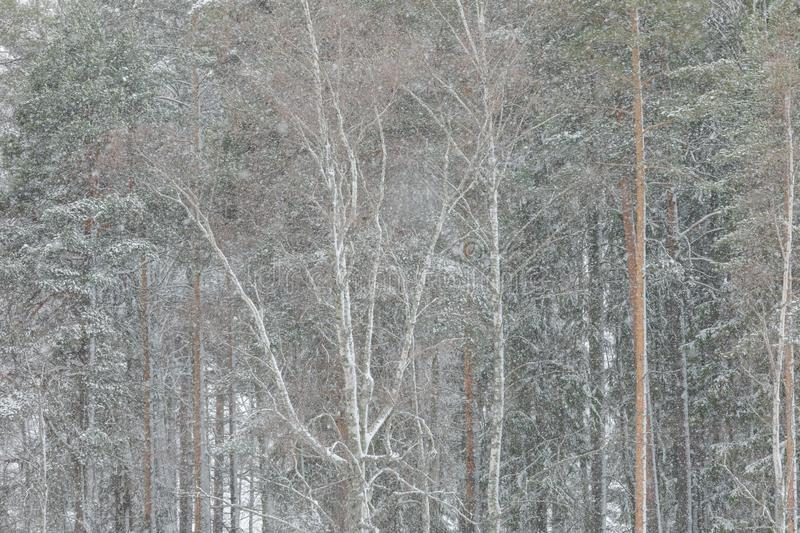 Strong wind and heavy snowfall blizzard in forest royalty free stock image