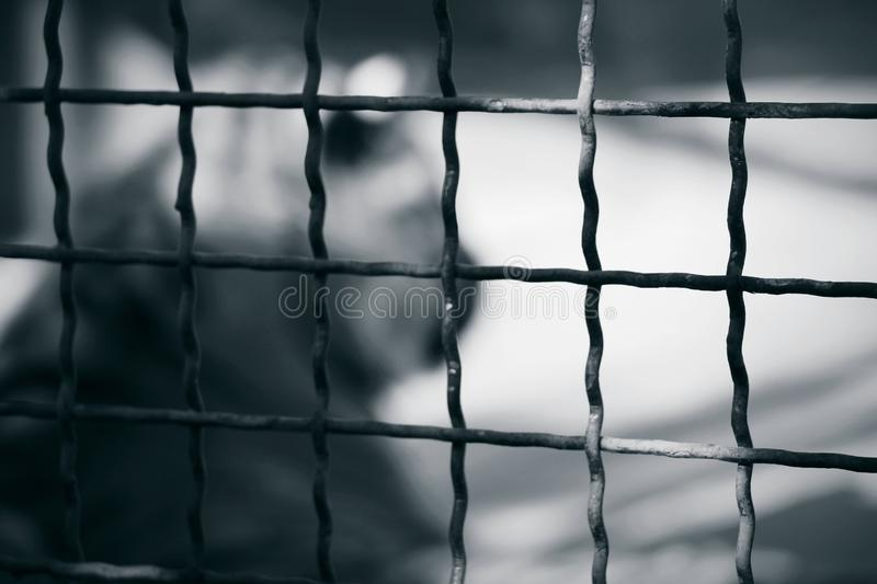 Strongly blurred silhouette of a tiger inside cage stock photography