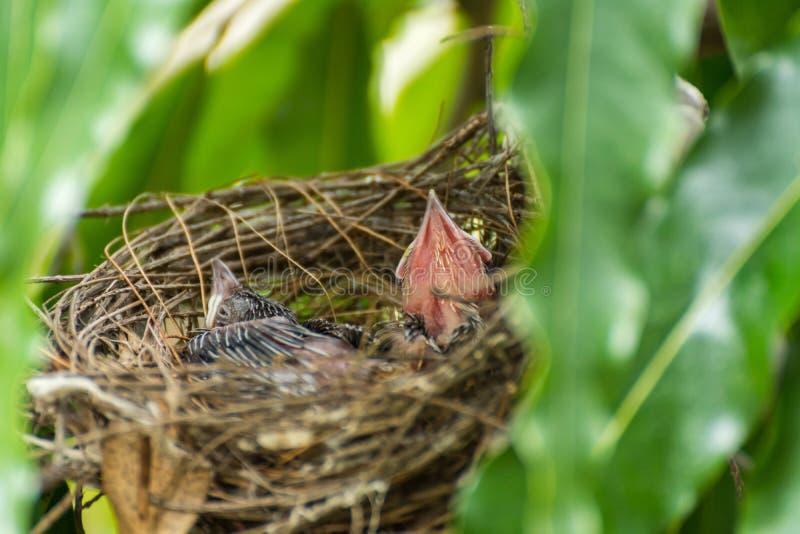 Strook-Eared vogel (bulbul) en baby in nest stock afbeelding