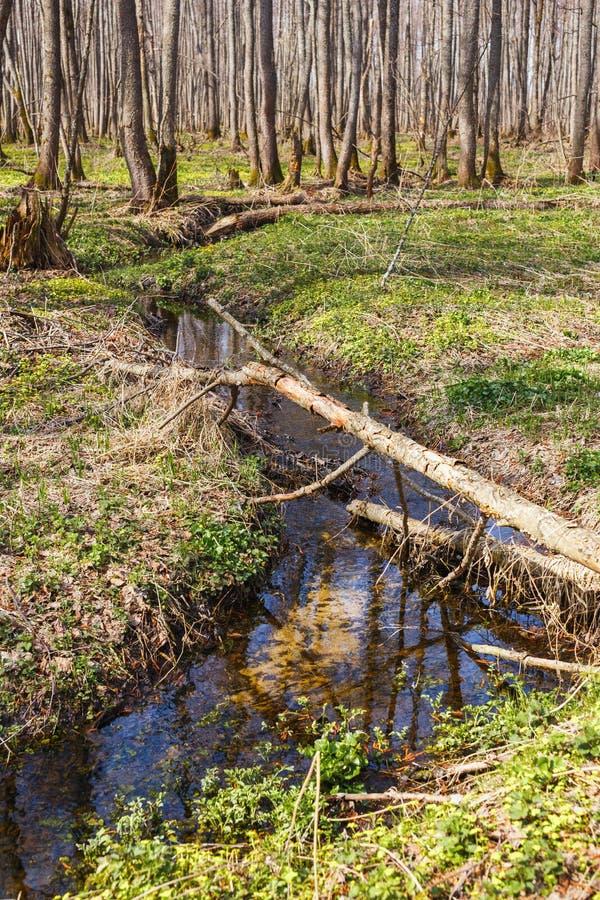 Stroom in de bomen van de de lente jonge bosesp royalty-vrije stock fotografie