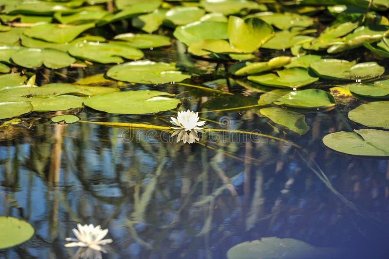 Stroomversnellinglelies in de Roemeense Delta van Donau mooie Europese stroomversnelling lilly in de Delta van Donau, Roemenië stock fotografie