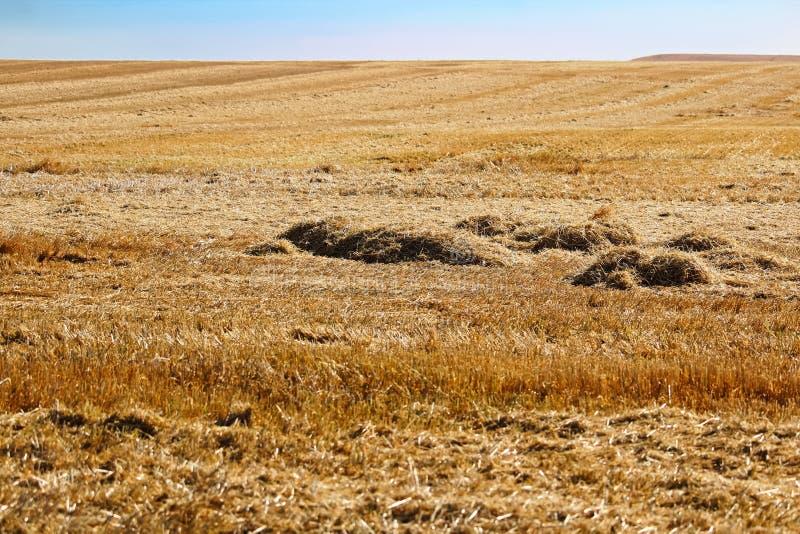 Strostapels op een gebied onmiddellijk na oogst stock foto