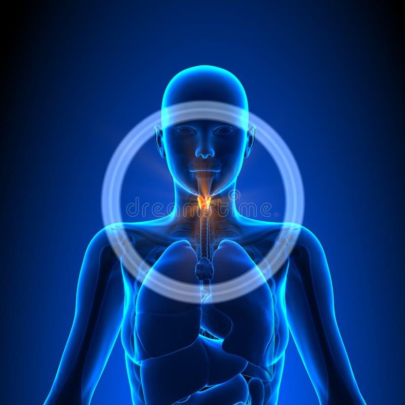 Strottehoofd - Vrouwelijke Organen - Menselijke Anatomie vector illustratie