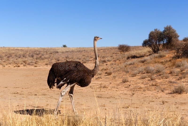 Struś, Kgalagadi, Południowa Afryka, safari przyroda zdjęcie royalty free