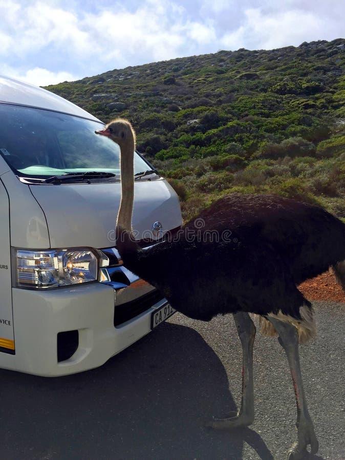 Struś przy parkiem narodowym W przylądka punkcie, Południowa Afryka zdjęcie royalty free