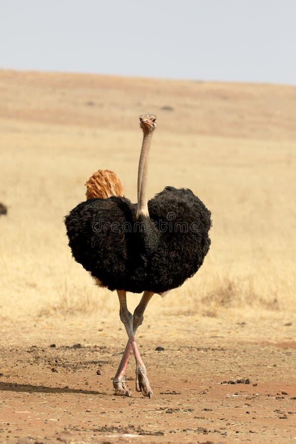Struś, Struthio camelus fotografia royalty free