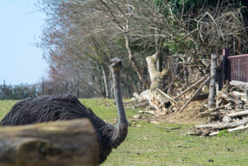 Struś w zoo Affi blisko Jeziornego Gardy obrazy royalty free