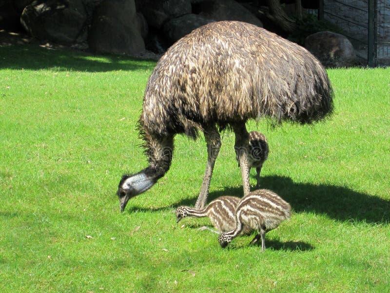 Struś z kurczątkami zwierzęta Wiedza natura Oczyma natury zdjęcia royalty free