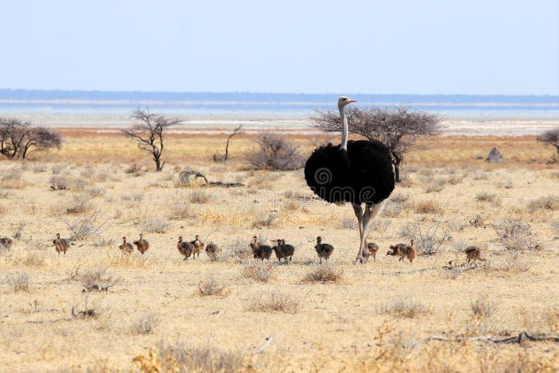 Struś z potomstwami - Namibia Afryka zdjęcia royalty free