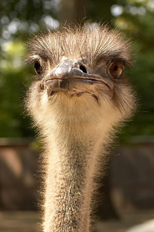Download Struś obraz stock. Obraz złożonej z ssak, przyroda, ptak - 145325
