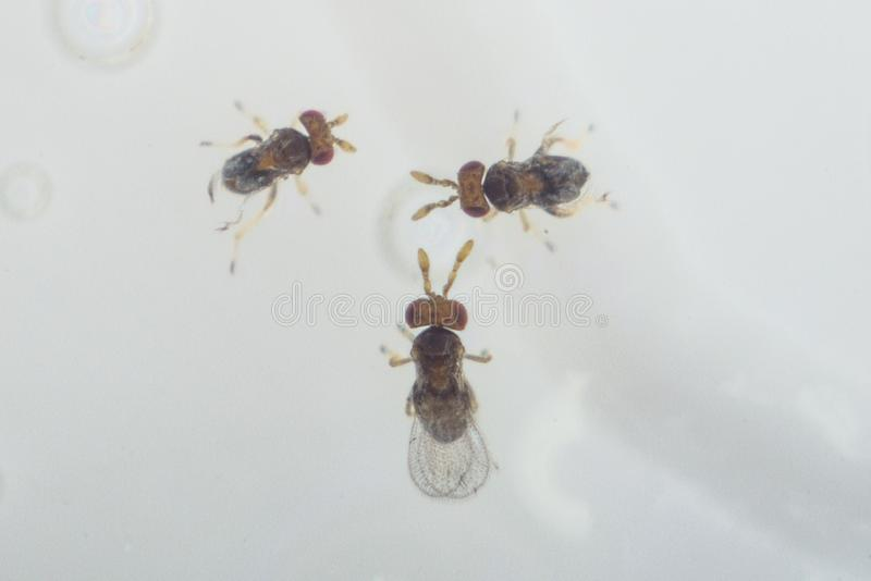 Trikhogramma — the family of parasitic equestrians-yaytseedov. Trikhogramma`s size is 0,3-0,5mm. The struck eggs of a plant louse Trikhogramma royalty free stock images