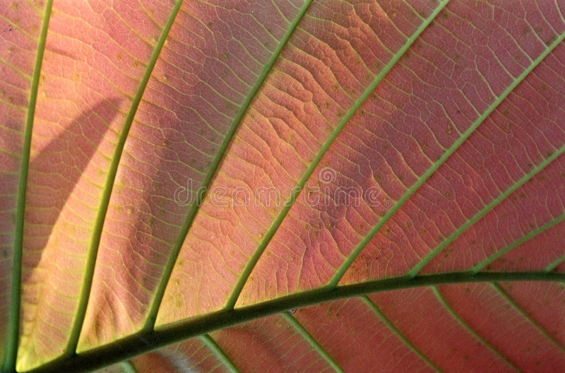 Structure of Asiatic leaf. Tropical Asiatic leaf royalty free stock images