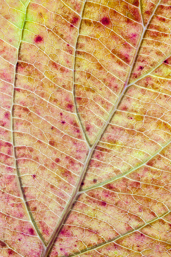 Structure of autumn leaf color royalty free stock photography