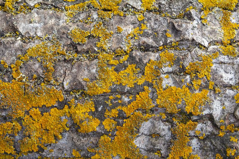 Texture of birch bark, moss and lichen. royalty free stock photography