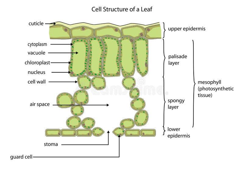 Structure cellulaire d'une feuille illustration stock