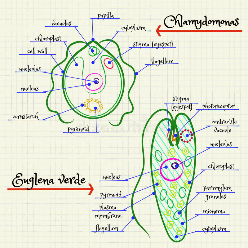 The structure of chlamydomonas and euglena stock vector download the structure of chlamydomonas and euglena stock vector illustration of mitochondria student ccuart Images
