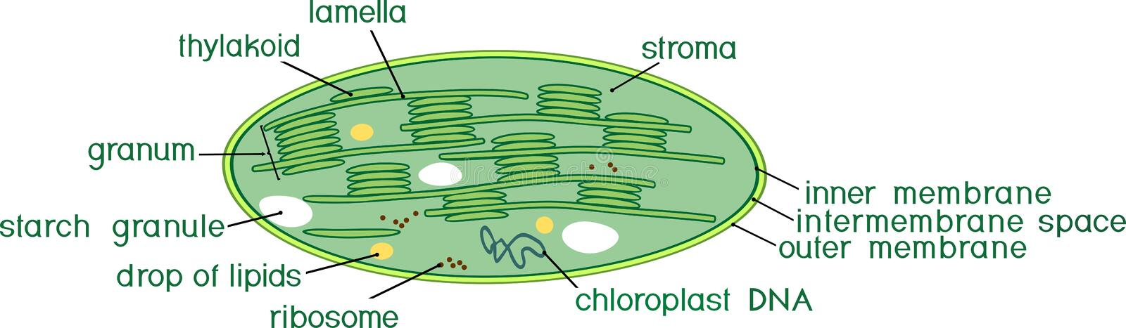 Structure of chloroplast with titles. Structure of chloroplast with english titles vector illustration