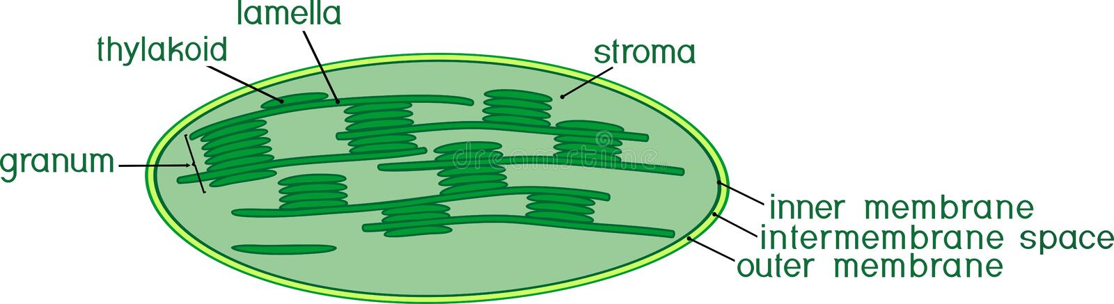 Structure of chloroplast with titles. Structure of chloroplast with english titles royalty free illustration