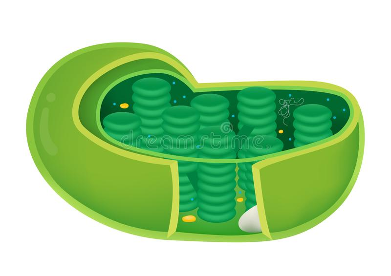 Structure of Chloroplast. This Illustration is about the diagram of Chloroplast. use to study vector illustration