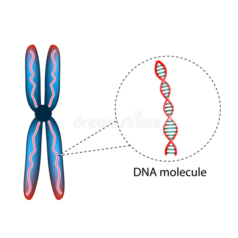 The structure of the chromosome. The structure of the DNA molecule. Infographics. Vector illustration on background. stock illustration