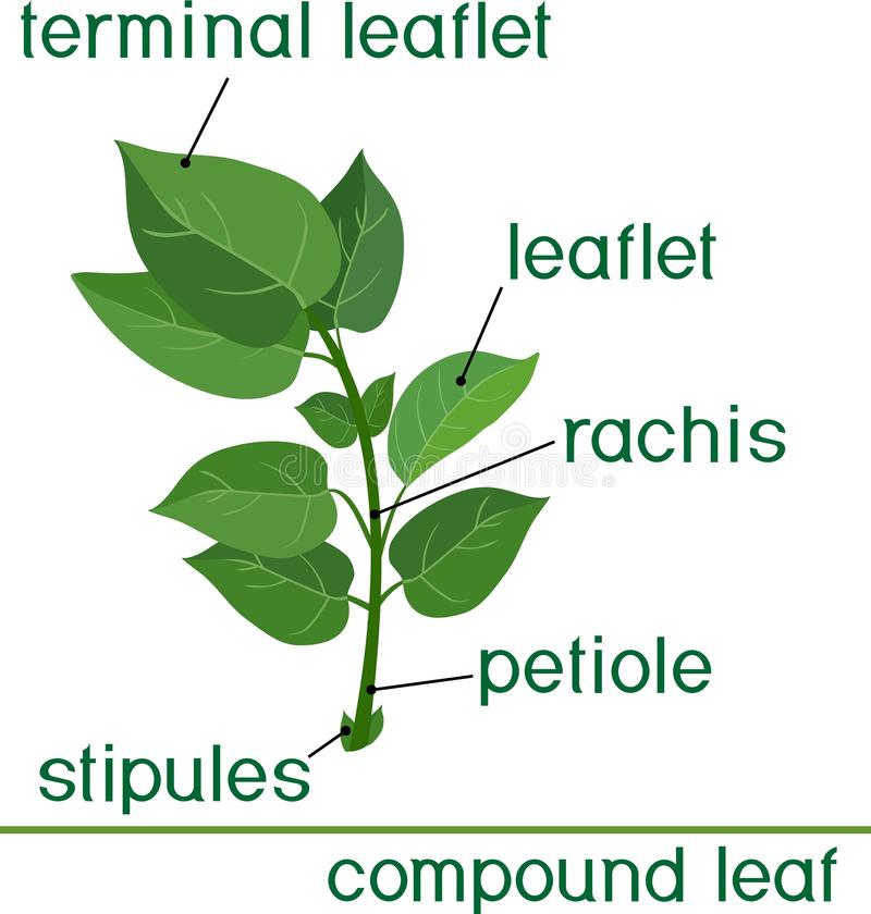 Structure of compound plant leaf. With title vector illustration