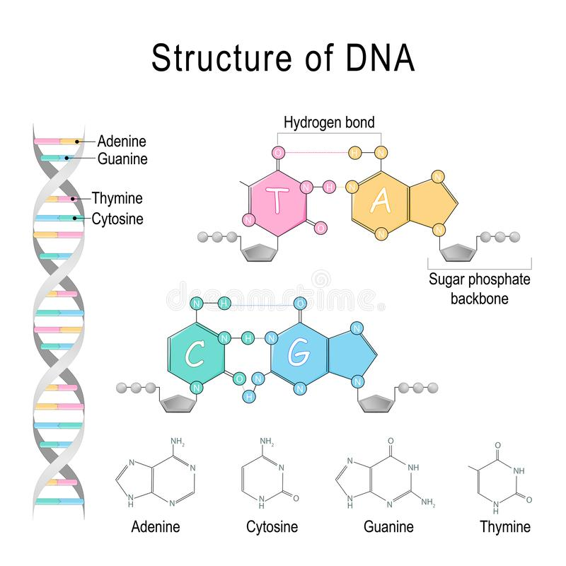 Structure d'ADN Phosphatebackbone d'adénine, de cytosine, de Thymine, de guanine, de sucre, et liaison hydrogène illustration libre de droits