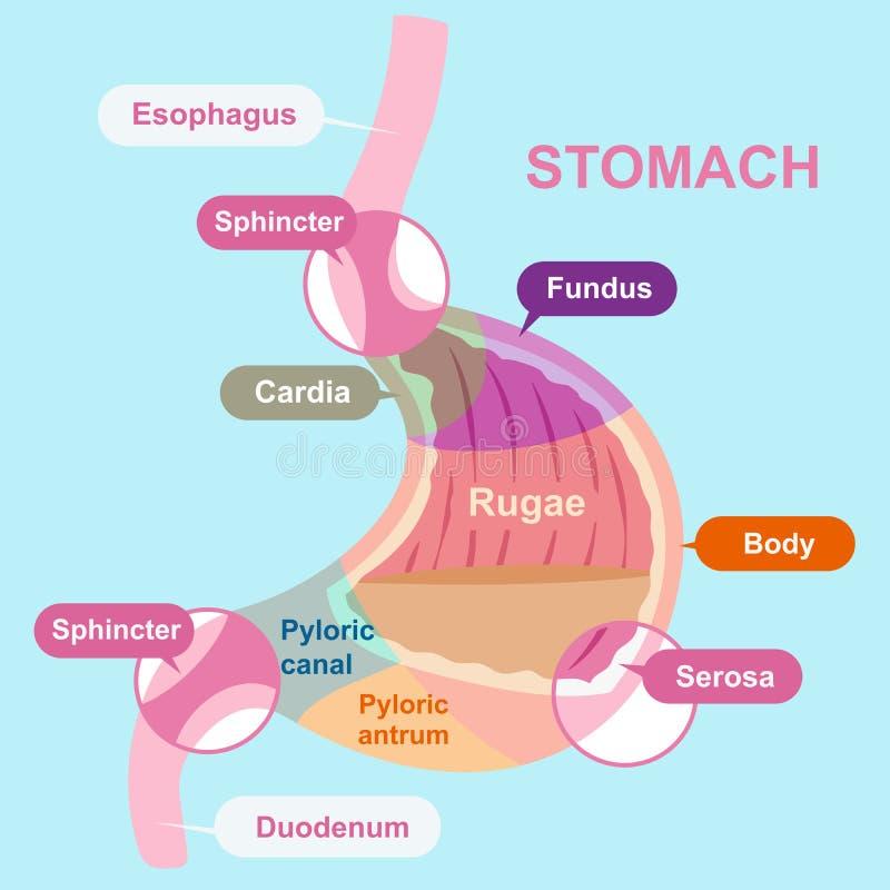 Structure d'estomac de bande dessinée illustration de vecteur